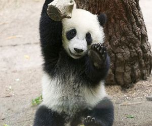 panda, adorable, and animals image