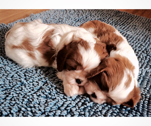 charles, spaniel, and cute image