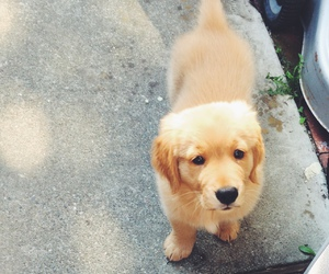 golden retriever and puppy image
