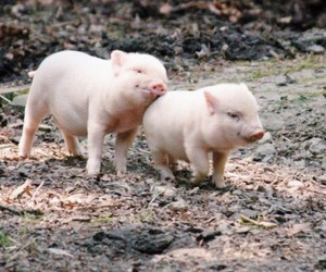 pig, animal, and piglet image