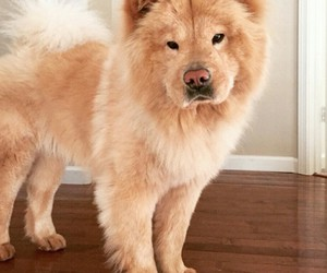 chow chow, dog, and fluffy image