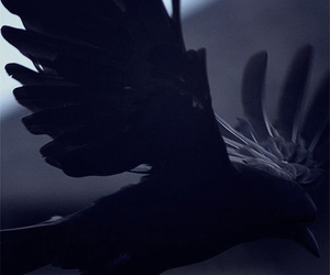 raven, black, and bird image
