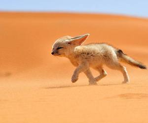 animal, fox, and desert image