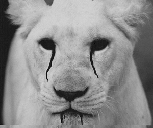 lion, black and white, and b&w image