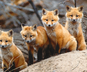 animal, foxes, and animals image