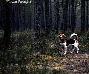 beagle, forest, and woodland image