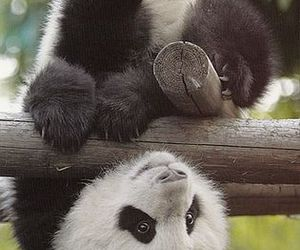 panda, animal, and adorable image