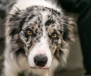 beautiful dog, dogs, and border collies image