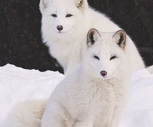 fox, snow, and animals image