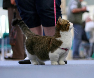 cat, animal, and munchkin image