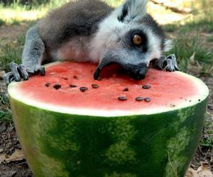 lemur and watermelon image
