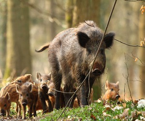 boar image