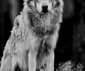 wolf, forest, and wild image
