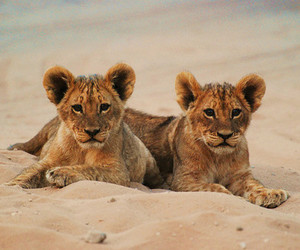 animals, wild animals, and cubs image