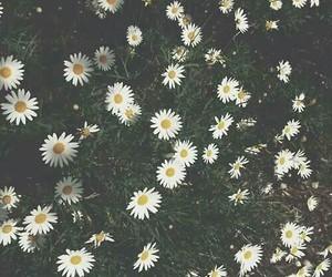 daises, nature, and wallpaper image