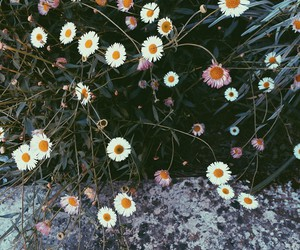 beauty, daisys, and flowers image
