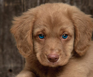 blue eyes, brown, and dog image