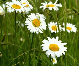 daisy, flowers, and happy image