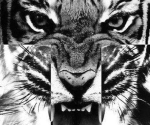 tiger, animal, and meow image