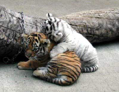 Cute Baby Tigers Shared By Littlehappythingz