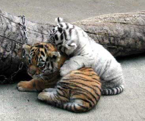 animals, tigers, and babies image