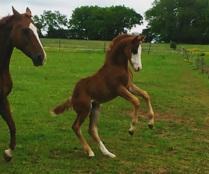 chestnut, equestrian, and fun image