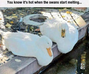 funny, humor, and swans image