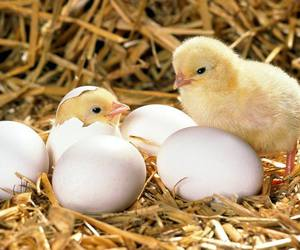 baby animals, birds, and chicks image