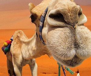 animal, camel, and funny image