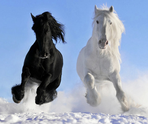 horse, black, and white image
