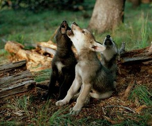 wolf, cute, and nature image