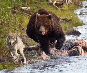 bear, wolf, and animal image