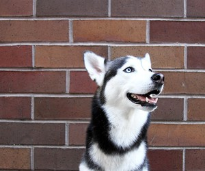 adorable, husky, and siberian husky image