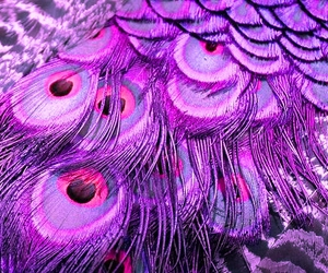 purple, peacock, and feather image
