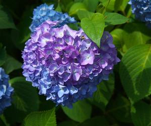 hydrangea, japan, and summer image