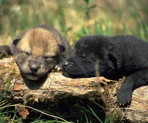 nature, wolves, and wolf pups image
