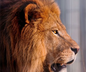 beautiful, king, and lion image