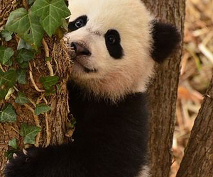 animals, panda, and nature image