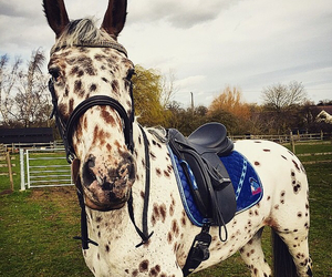 spotty, appaloosa, and equestrian image
