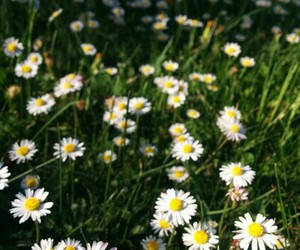 cool, daisy, and flowers image