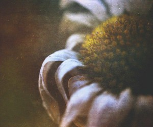 daisies, grunge, and photography image