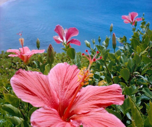 flowers, hibiscus, and sea image