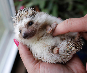 hedgehog, cute, and animals image