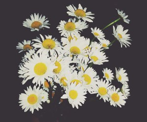 flower, chamomile, and flor image