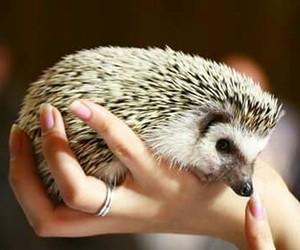 hedgehog, sweet, and baby image