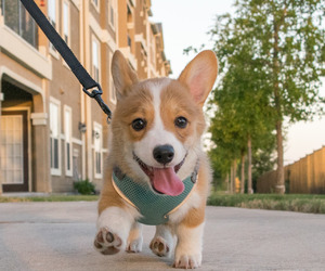 dog, corgi, and puppy image