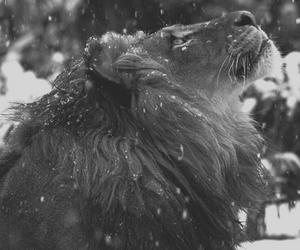 lion, snow, and animal image