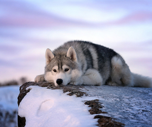 dog, winter, and wolf image