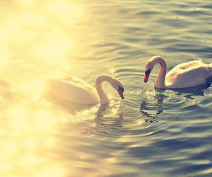 beautiful, Swan, and Dream image