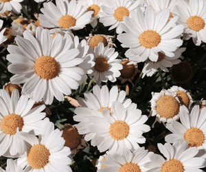 daisy, flower, and summer image